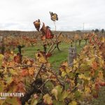 belle-limouisnes-at-lancaster-winery-2